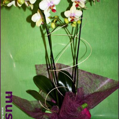 Planta de orquídea preparada regalo
