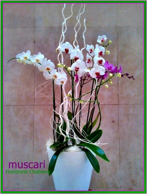 Composición con 3 plantas de orquídeas pharenopsis