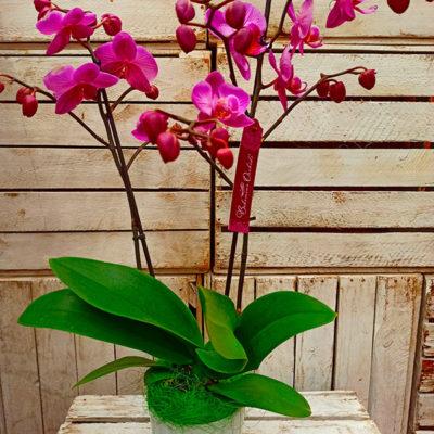 Orquídea Cristal
