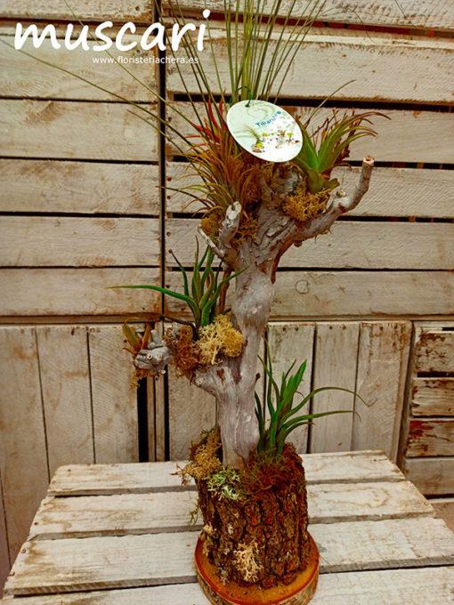 Tillandisia árbol grande