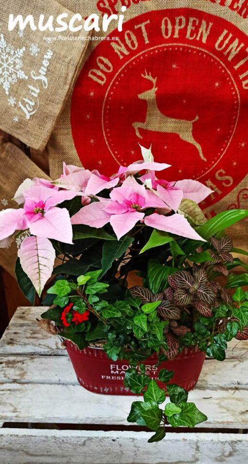 Centro de plantas con Flor de Pascua en base vintage