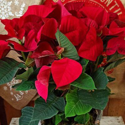 Flor de Pascua roja en base de mimbre